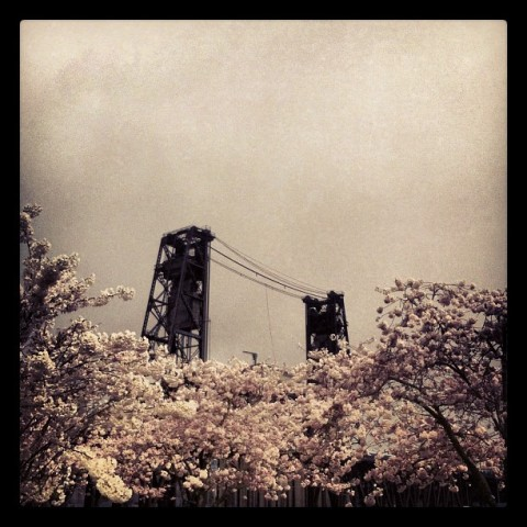 Steel Bridge and cherry blossoms, Portland Oregon.